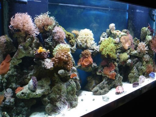 Mariculture corals for aquarium